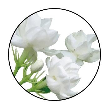Weißer Jasmin blüht in einem Kreis, auf einem weißen Hintergrund.