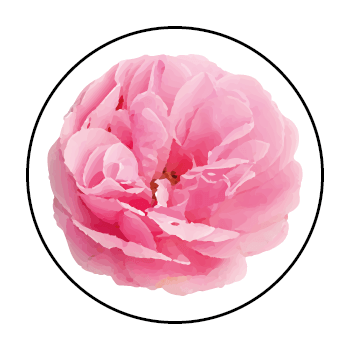 A Damask rose in a circle on a white background.
