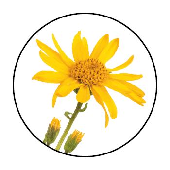 Une fleur de calendula dans un cercle, sur fond blanc.