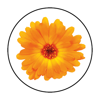 A calendula flower in a circle on a white background.