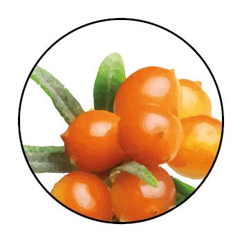 </p> <p>Sanddornbeeren in einem Kreis, auf einem weißen Hintergrund.</p> <p>