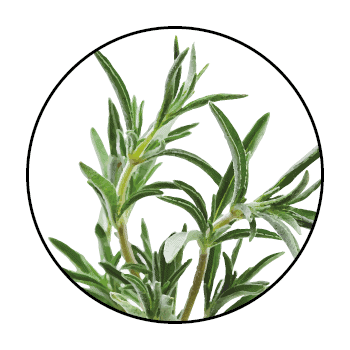 Savory stems in a circle on a white background.