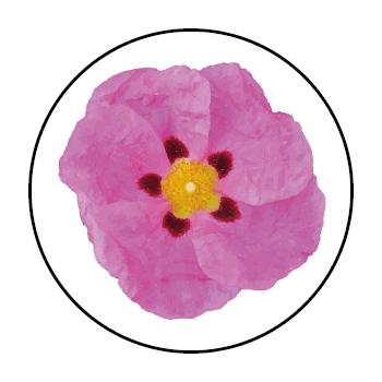Une fleur de ciste rose dans un cercle, sur fond blanc.