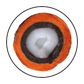 Tucuma halbiert und von vorne gesehen mit seiner leuchtend orangefarbenen Haut, der dunkelbraunen Schale und den cremeweißen Früchten.