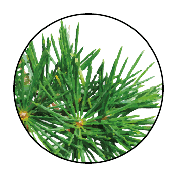 Cedar thorns in a circle, on white background.
