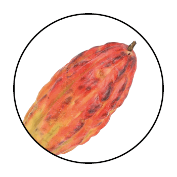 A red-orange cocoa bean in a circle on a white background.