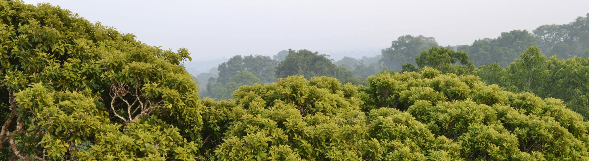 Canopée de la jungle brésilienne vue du dessus.