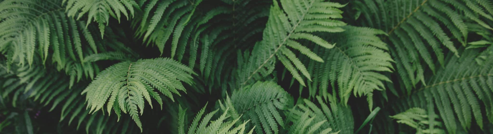 Nahaufnahme von grünen Farnblättern.