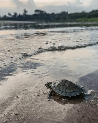 Un jeune bébé tortue rejoignant la mer depuis la rive.