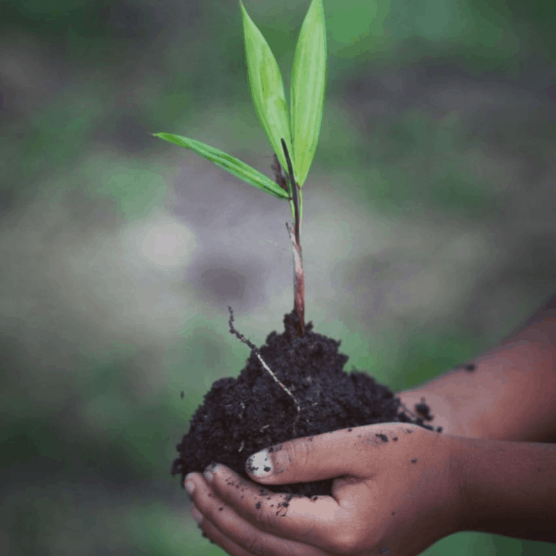 Child's hands holding a young shrub and soil.