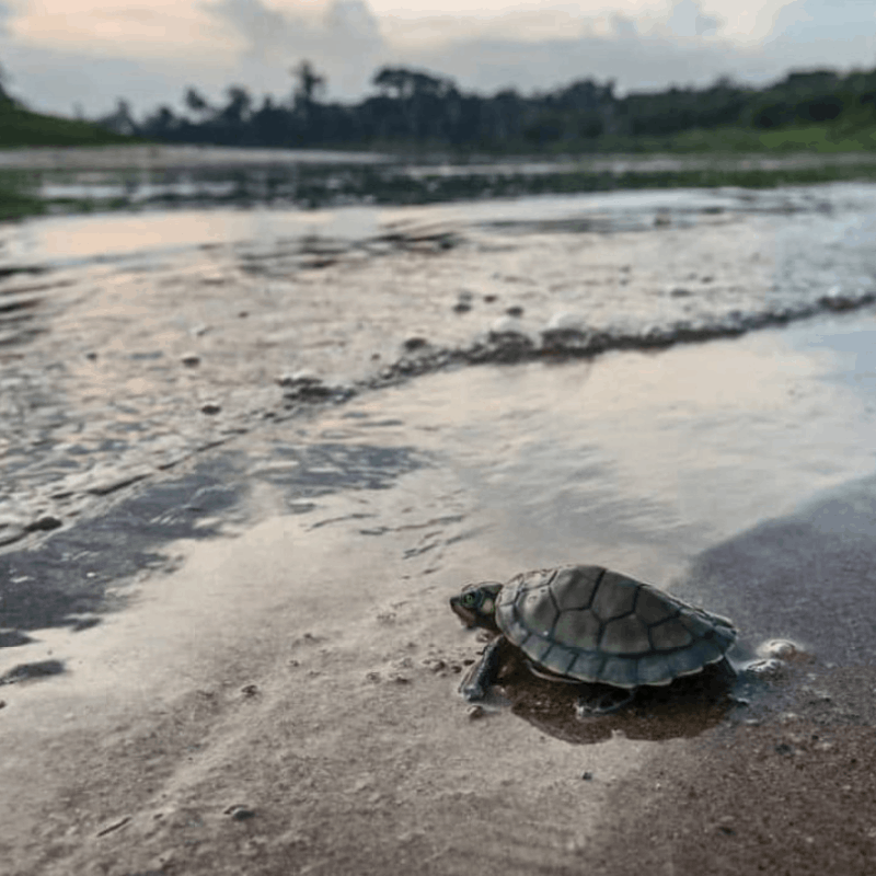 Un bébé tortue atteignant la rive d'un fleuve.
